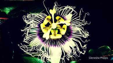 passion-flower2