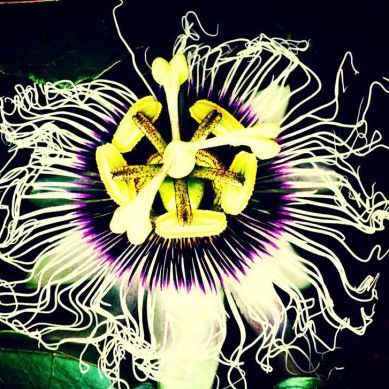 passion-flower2